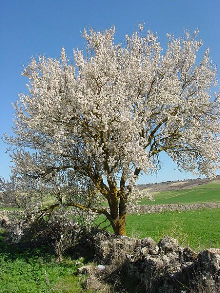 Almond tree in blossom on Tu B'Shvat (Photo: Lourdes Cardenal)